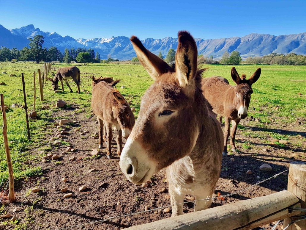 Duikersdrift Donkey