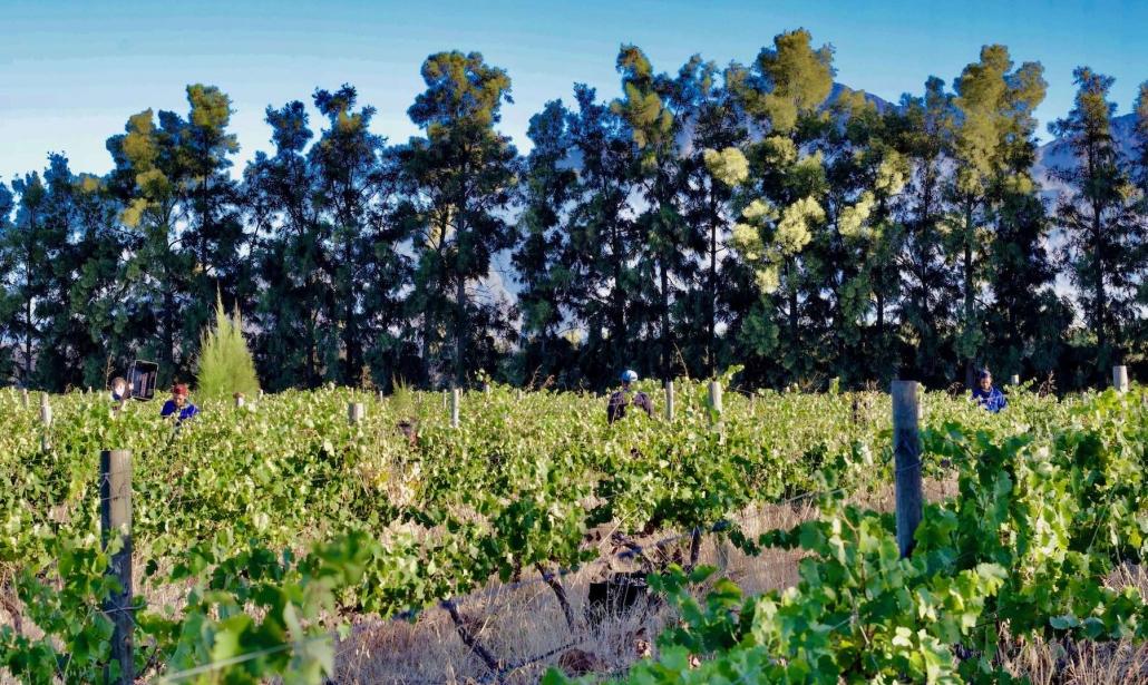 Vines at harvest
